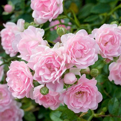Sadnice ruza pink fairy