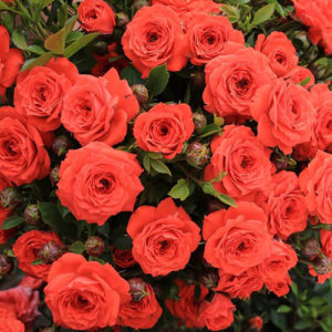Sadnice ruze Orange Jewel