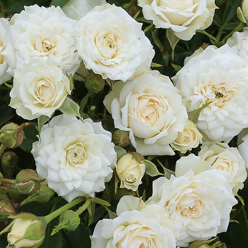 Sadnice ruze white mini