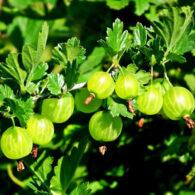 Sadnice voća Zeleni ogrozd